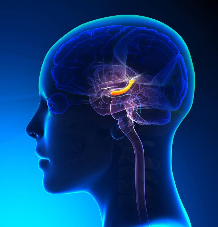 Αποτέλεσμα εικόνας για brain hippocampus